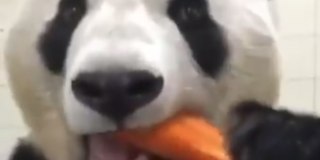 Panda Eats a Gardens on Fire