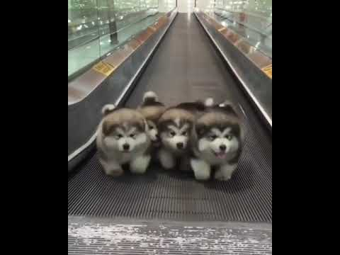 Pups Got the Moves