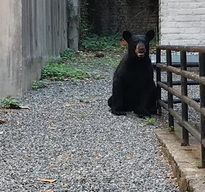 Thursday. Wild bear roams downtown Richmond