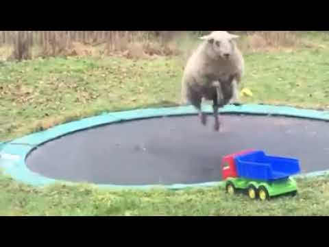Bouncing Sheep